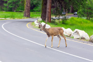 How To: Avoiding Deer Collisions